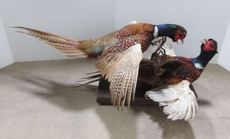Fighting Rooster Ringneck Pheasants on a Wooden Base