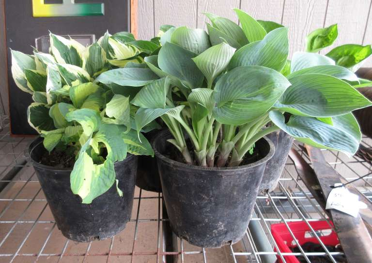 Albrecht Auctions 5 Different Varieties Of Hosta Plants Many To
