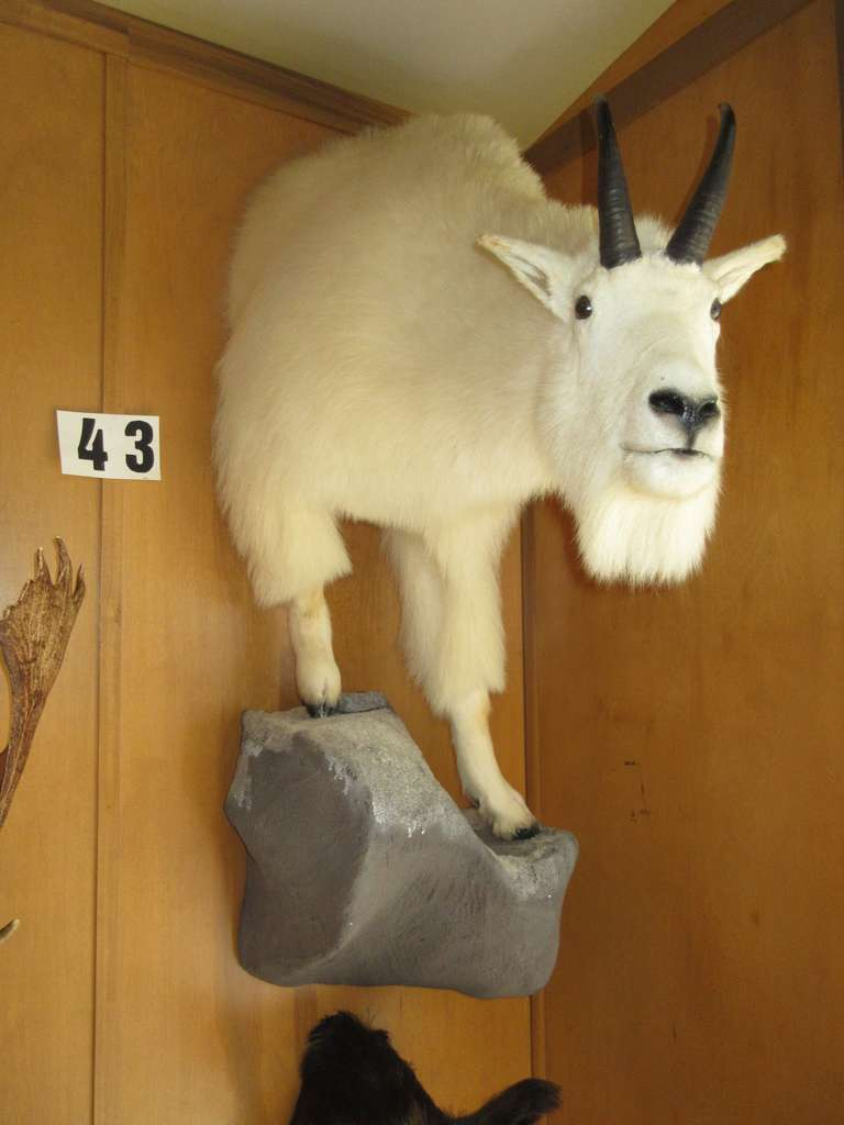 Mountain Goat, 1/2 Body Mount