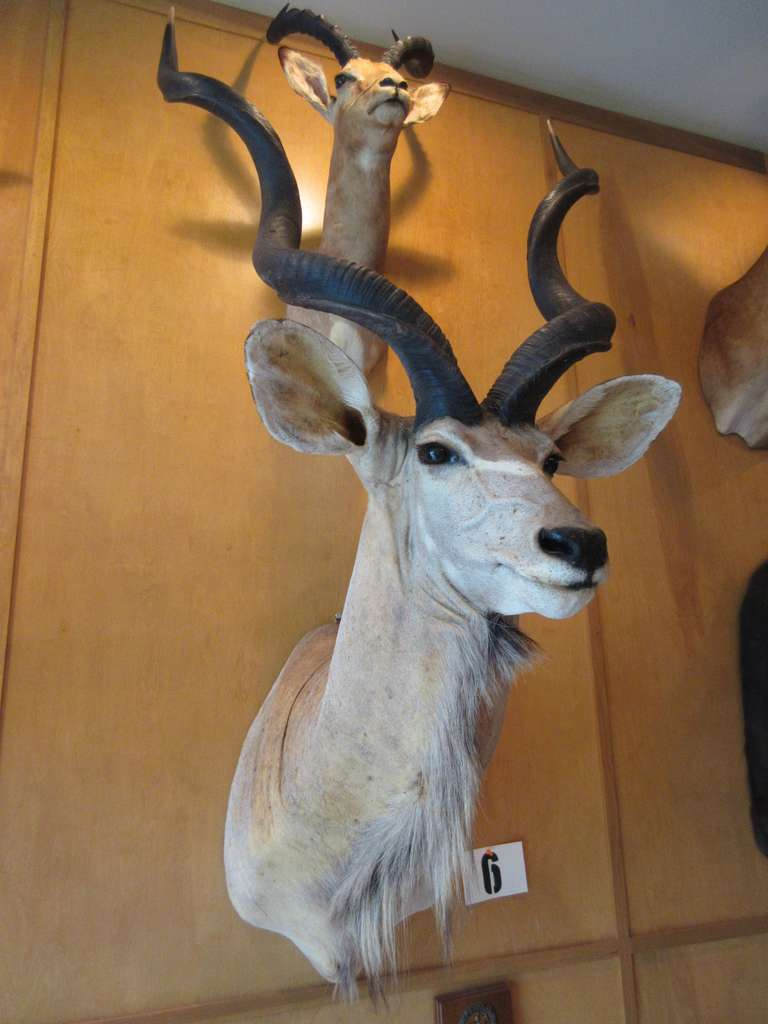 "Southern Greater Kudu, Horns Approximately 39"" Long"