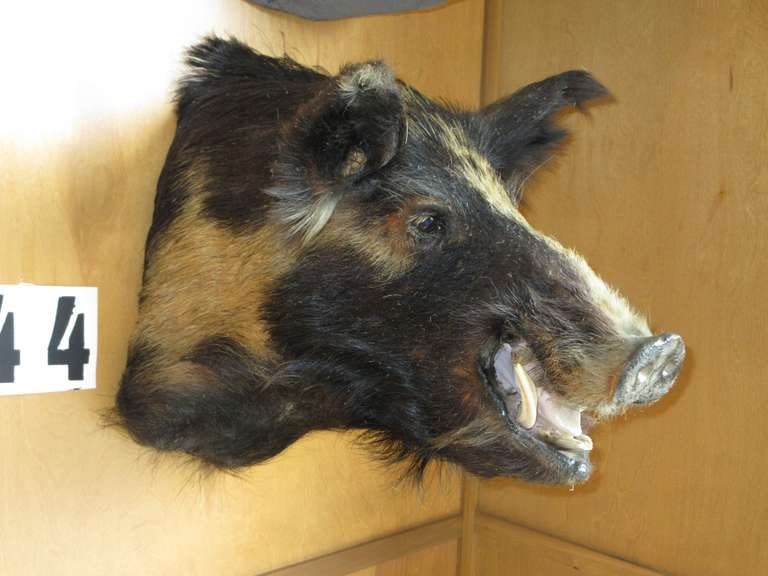 Black Russian Wild Boar