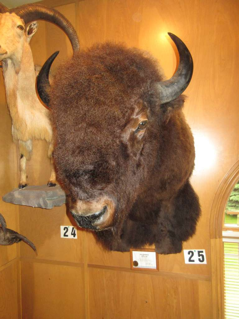 Bison (Triple U Ranch, Movie Dances with Wolves)